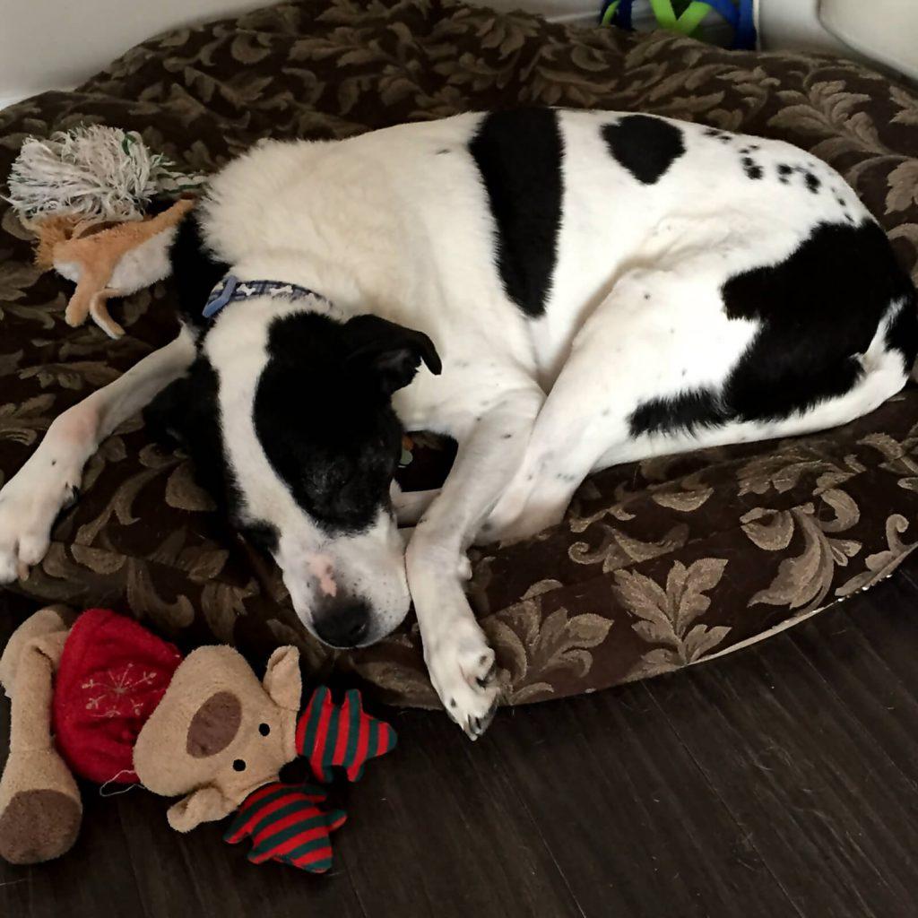 family pets, Winnipeg fashion blogger, dachshund mix, dalmatian, dalmatian mix, dalmatian-springer cross, style my dreams blog,